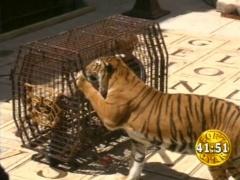 Fort Boyard Fr épreuves Cage Aux Tigres