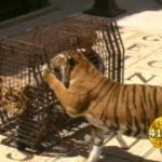 Cage aux tigres